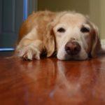 38 Bệnh khiến chó bị sốt giúp bạn đề phòng