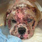 Chó bị viêm dademodex (Bệnh Xà Mâu )- Triệu chứng & cách điều trị