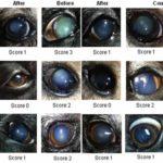Mắt chó bị đục thủy tinh thể: Nguyên nhân, cách chữa trị bệnh hiệu quả