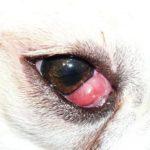8 Bệnh về mắt ở chó thường gặp