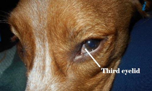 Bạn có thể đã nhìn thấy mí mắt thứ 3 của chó khi chúng đang ngủ