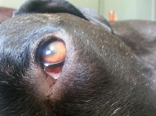 Một số giống chó bạn có thể nhìn thấy mí mắt thứ 3 khi chúng thức