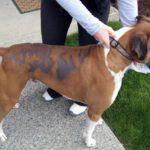 Hướng dẫn cách chữa trị chó bị rụng lông cho từng trường hợp