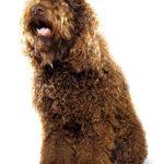 Chó Poodle có bị rụng lông không? Nguyên nhân nào gây rụng lông?