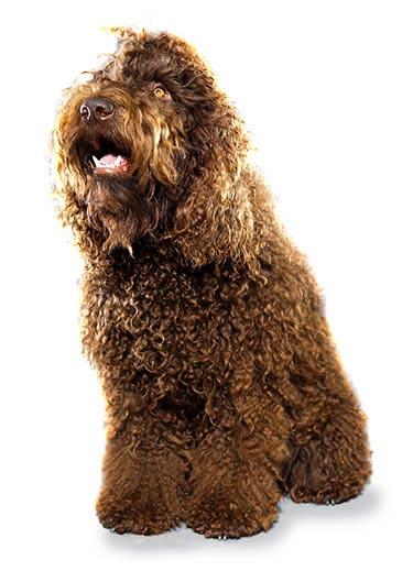 Chó Poodle có bị rụng lông hay không? là thắc mắc của rất nhiều người
