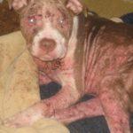 Chó bị ghẻ máu Demodex Canis – Nguyên nhân, chuẩn đoán, thuốc điều trị bệnh