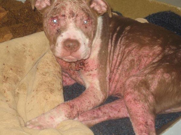 Hình ảnh 1 chú chó đang thương bị ghẻ Demodex hủy hoại cơ thể