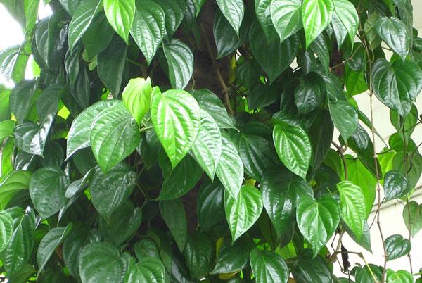 Lá cây trầu không có tác dụng trị ghẻ, viêm da hiệu quả ở chó mèo