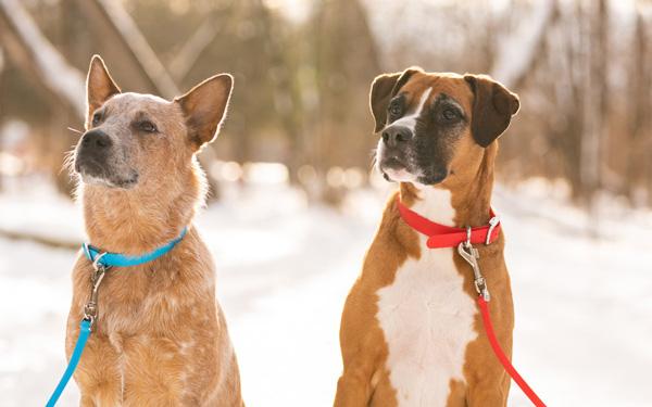 Cách chọn mua vòng cổ cho chó